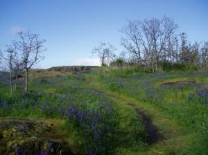 early camas bloom Mt. Tolmie, garry oak meadow, garden Victoria BC