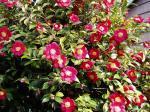 Camellia in full bloom
