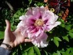 young tree peony in bloom cu, Joe Harvey, Victoria BC