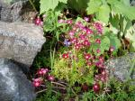 saxifraga in bloom, Victoria BC garden