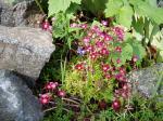 saxifraga in bloom, Victoria BC garden
