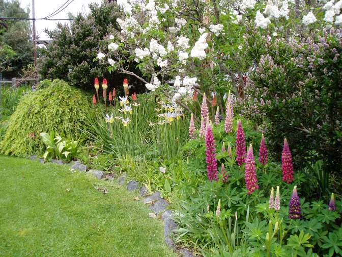 lilac, red hot pokers, irs, lupin Lupinus, with the ceanothus just about to come into bloom too, garden Victoria, Vancouver Island, BC, Pacific Northwest
