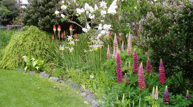 lilac, red hot pokers, dutch iris, lupin Lupinus, with the ceanothus just about to come into bloom too, garden Victoria, Vancouver Island, BC, Pacific Northwest