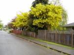 laburnum tree in bloom, Victoria BC garden
