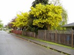 laburnum tree in bloom, Victoria BC garden