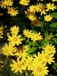 wooly sunflower in bloom, oregon sunshine, Victoria BC garden