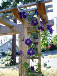 Clematis in bloom garden Victoria BC