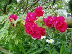 climbing rose in bloom garden Victoria BC