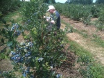 July blueberry picking garden Victoria BC