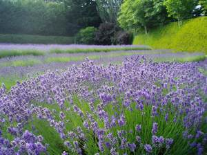 Happy Valley Lavender Farm field  Victoria garden
