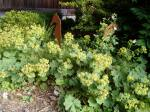 lady's mantle in july garden Victoria BC