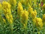 golden rod in bloom, garden Victoria BC Pacific Northwest