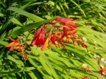 Crocosmia in bloom, garden Victoria BC