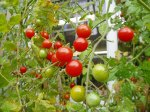 tomatoes ripening garden Victoria BC