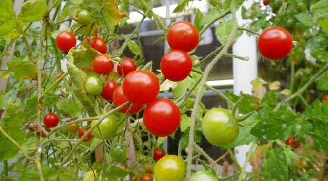 tomatoes ripening garden Victoria BC
