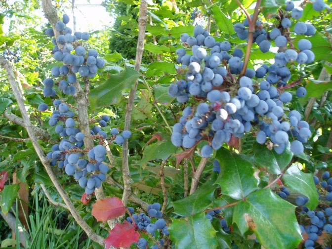 Oregon Grape berries in august, garden Victoria BC Pacific Northwest