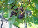 wine grapes, gardens Victoria BC