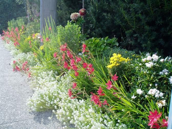 Kaffir Lily & Chrysanthemu,ms , garden Victoria BC