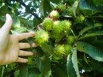 Chestnut in seed pods, garden Victoria BC