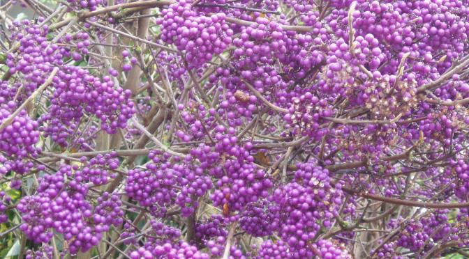 Beauty Berry, Calacarpa garden Victoria BC