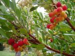 strawberry tree in October garden Victoria BC