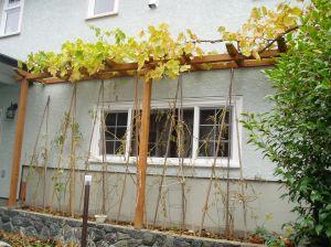 Tomato vines in late October (below grape trellis) garden Victoria BC Pacific Northwest