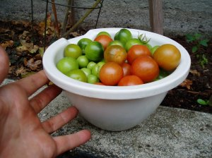 The end of season tomatoes, garden Victoria BC Pacific Northwest