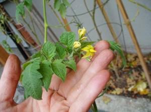 Tomato flower in October, garden Victoria BC Pacific Northwest