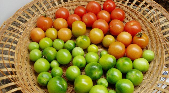 tomatoes ripening under full spectrum lights November, garden Victoria BC