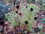 rudbeckia seed heads in November garden Victoria BC