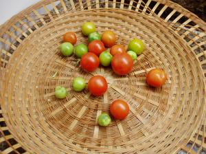 tomatoes ripening under full spectrum lights garden Victoria BC