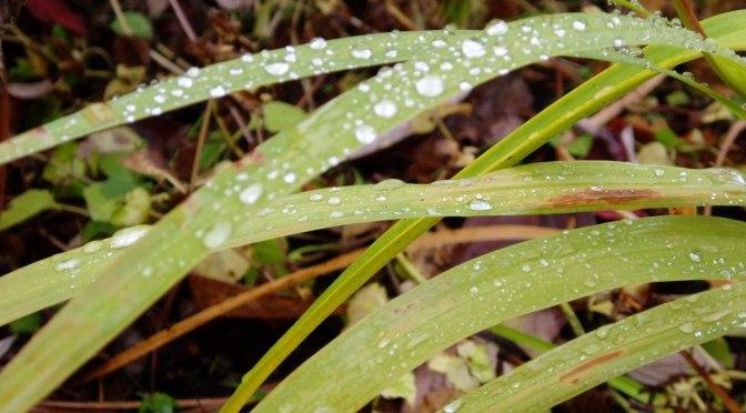 aindrops on crocrosmia in autumn Victoria BC garden