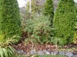 hardy fuchsia still blooming in November garden Victoria BC