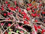 berberis, garden Victoria BC Pacific Northwest
