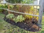 hellebore, crocrosmia & goldenrod seedheads, garden Victoria BC Pacific Northwest