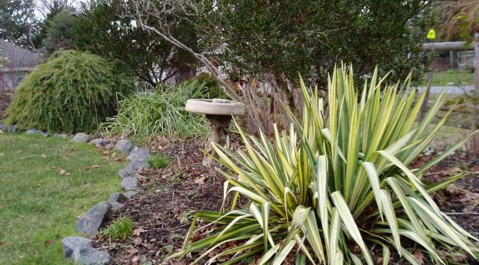variegated yucca, garden Victoria BC Pacific Northwest