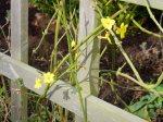 winter jasmine, garden Victoria BC Pacific Northwest