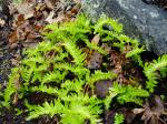 licorice fern, garden Victoria BC Pacific Northwest