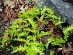 licorice fern, garden Victoria BC Pacific Northwest