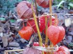 Chinese lantern in December garden Victoria BC Pacific Northwest