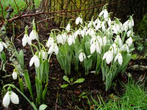 galanthus bus stop snowdrops in January, garden Victoria BC Pacific Northwest