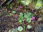 unusually early cyclamen coum in January, garden Victoria BC Pacific Northwest