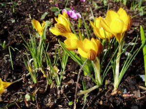 unusually early crocus in January, garden Victoria, Vancouver Island, BC Pacific Northwest