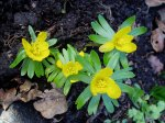eranthis, winter aconite, garden Victoria BC Pacific Northwest,