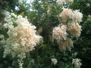 ocean spray, ironwood, arrow wood, holodiscus discolor, garden Victoria BC Pacific Northwest