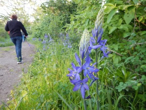 Great Camas, Camassia leichtlinii along Uplands Park path, garden Victoria BC Pacific Northwest