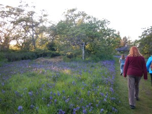 another camas meadow in Uplands Park, garden Victoria BC Pacific Northwest