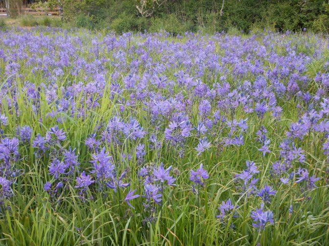 blooming camas meadow Camassia quamash in Uplands Park, garden Victoria BC Pacific Northwest