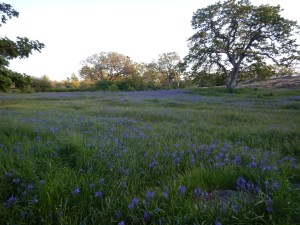 Uplands Park Camas meadow, garden Victoria BC, Pacific North West