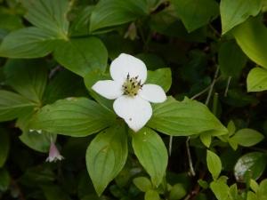 bunchberry aka Cornus canadensis and dwarf dogwood, garden Victoria BC Pacific Northwest